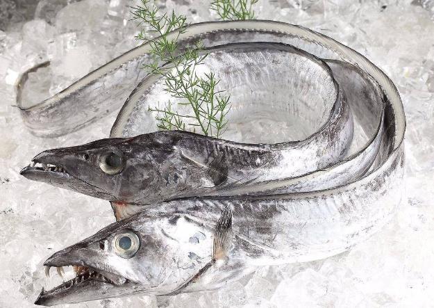 为何带鱼不能人工养殖 带鱼为什么一出水就会死掉 带鱼是深海鱼吗