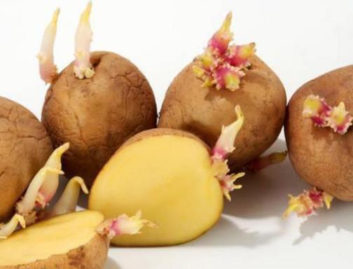 发芽的马铃薯含有什么毒素(龙葵素)?土豆怎么保存不发芽?