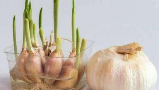大蒜的功效及作用有哪些?大蒜发芽了还能继续吃吗?