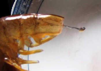 基围虾清洗方法