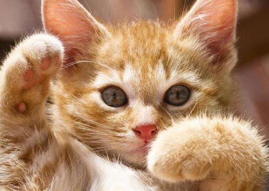 猫咪真菌感染能自愈吗?猫咪寄生虫传染人会有哪些症状?